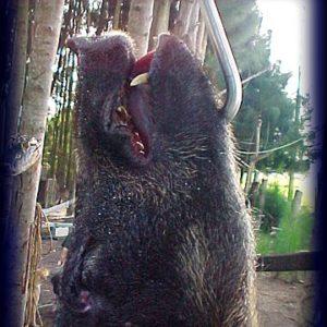 Wild Boar Hunt Report: July 25th, 2004
